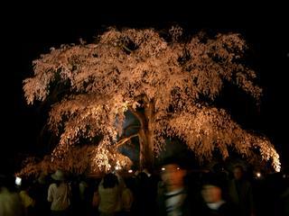 祇園枝垂れ
